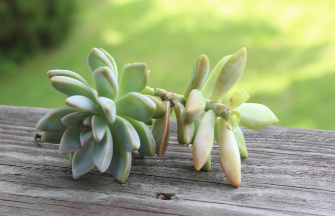 Succulent Clipping